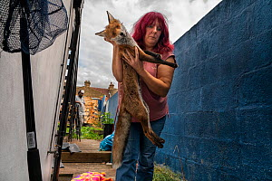 Taz Kenward of the Fox Project rescues a Red fox (Vulpes vulpes) from a housing complex in London.  The fox will be rehabilitated if possible, and re-released where it was captured.  London, England,...  -  Karine Aigner