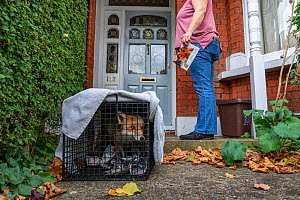Taz Kenward of the Fox Project returns a wild rehabilitated Red fox (Vulpes vulpes) to the housing community where it was originally captured in London.  London, England, UK, 2018 Model released.  -  Karine Aigner