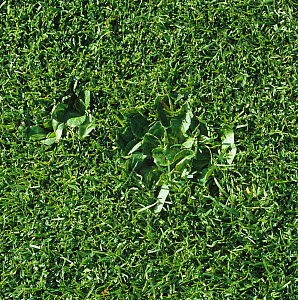 Daisy (Bellis perennis) plants mown short and embedded in close cropped sports turf of a golf green, Surrey, October  -  Nigel Cattlin