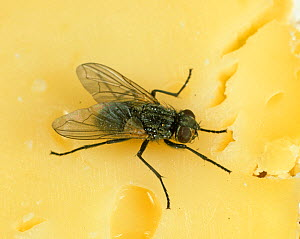 House fly (Musca domestica) on cheese, kitchen hygiene  -  Nigel Cattlin