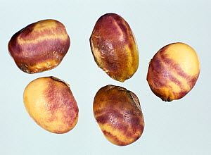Purple seed stain (Cercospora kikuchii) characteristic staining symptom caused by the disease to soybean seeds  -  Nigel Cattlin