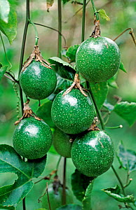 Unripe passion fruits (Passiflora edulis) crop hanging on the vine before ripening and harvest, Thailand  -  Nigel Cattlin
