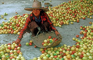 Woman sorting harvested passion fruits (Passiflora edulis) crop into a basket carrier on the farm, Thailand  -  Nigel Cattlin
