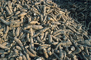 Pile of harvested cassava / manioc (Manihot esculenta) starchy tuberous roots used to extract tapioca, Pattaya, Thailand  -  Nigel Cattlin