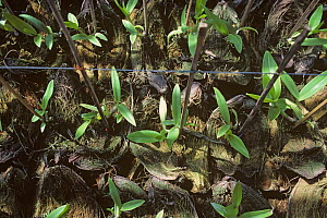 Epiphytic Dendrobium orchids reared in coconut shells in a nursery to be sold to hang on trees and in houses, Thailand  -  Nigel Cattlin
