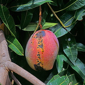 Anthracnose (Colletotrichum gloeosporioides) lesions and weeping on a mango fruit on the tree, Transvaal, South Africa, February  -  Nigel Cattlin