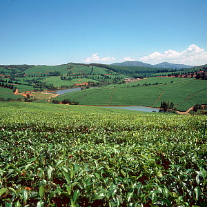 Rolling hill landscape with lakes and tea plantations on a fine day in the Low Veldt, Transvaal, South Africa, February  -  Nigel Cattlin