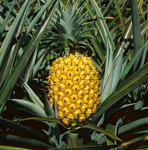 Mature fully ripe yellow pineapple fruit on the plant with sharp, spiny leaves, too ripe for harvesting and shipping, East London, South Africa, February  -  Nigel Cattlin