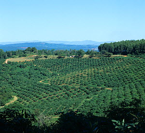 Lines of mature avocado trees in the foreground with South African Low Veldt landscape fading into the distance behind, Transvaal, South Africa, February  -  Nigel Cattlin