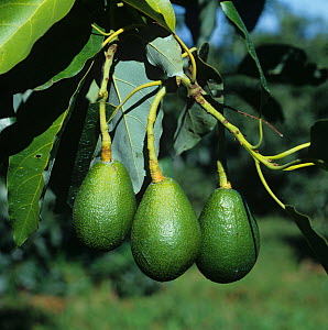 Maturing avocado fruit (Persea americana) hanging from long peduncles on the tree, Transvaal, South Africa, February  -  Nigel Cattlin