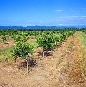 Young orange orchard on the Letaba Estates with hose for piped irrigation and nutrient drip, near Tzaneen, Transvaal, South Africa  -  Nigel Cattlin