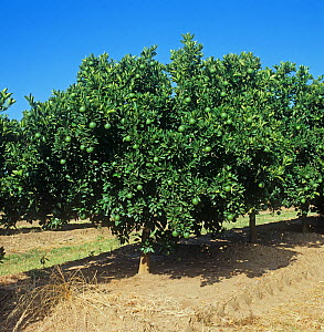 Rows of orange trees (Citrus sinensis) with green, maturing fruit in an orchard in the Low Veldt, Transvaal, South Africa, February  -  Nigel Cattlin