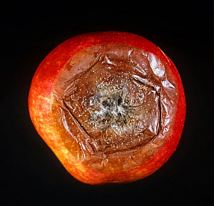 Fruit eye rot (Neonectria ditissima) development of rot around the eye (blosson end) of and apple fruit  -  Nigel Cattlin