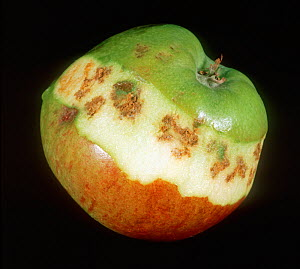Bitter pit, dark spots in the flesh of an apple caused by a lack of calcium (Calcium deficiency) late in the season in dry conditions.  -  Nigel Cattlin