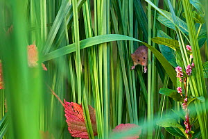 Young Harvest mouse (Micromys minutus) age 25 days, hiding in dense marsh grasses, France, Controlled conditions.  -  Klein & Hubert