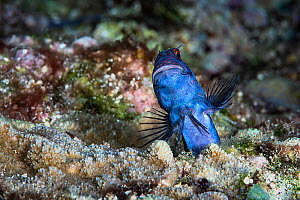 Male red-spotted blenny (Blenniella chrysospilos) fertilizing eggs. The female is in the burrow beneath him and has deposited eggs. Once the male finishes, he goes to another hole and waits for the fe...  -  Tony Wu