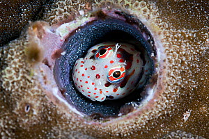 Male red-spotted blenny (Blenniella chrysospilos) watching over a clutch of eggs that are nearly ready to hatch. Kumejima, Okinawa, Japan, Pacific Ocean  -  Tony Wu