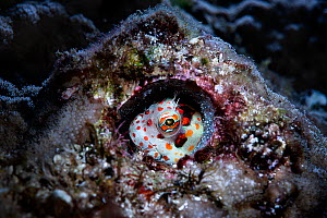 Red-spotted blenny (Blenniella chrysospilos) male watching over a clutch of eggs that are nearly ready to hatch. During spawning, males of this species select and prepare burrows like this, often aban...  -  Tony Wu