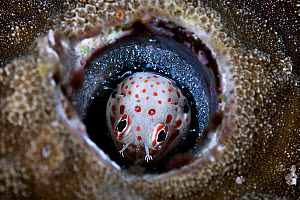 Red-spotted blenny (Blenniella chrysospilos) male hatching a clutch of eggs that he has been watching over for about five days. Kumejima, Okinawa, Japan, Pacific Ocean.  -  Tony Wu