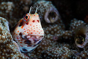 Red-spotted blenny (Blenniella chrysospilos) poking its head out of its home in coral, with two coral hermit crabs (Paguritta sp.) visible in the background. The blenny's home is the abandoned bur...  -  Tony Wu
