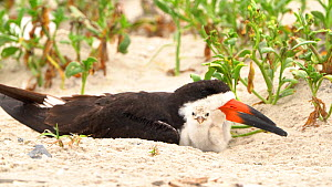 Black Skimmers (Rynchops niger) adult with chick in nest scrape on beach, Long Island, New York, USA, August.  -  Marie Read