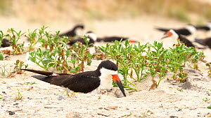 Black Skimmers (Rynchops niger) nesting on beach, adult arrives at nest settles down to brood two chicks, Long Island, New York, USA, August.  -  Marie Read