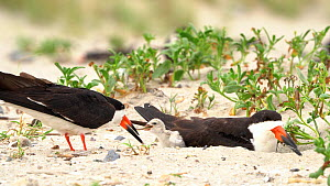 Black Skimmers (Rynchops niger) nesting, one adult feeds a fish to a small chick that emerges from underneath second adult, Long Island, New York USA, August.  -  Marie Read