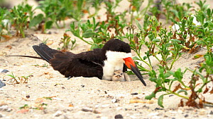 Black Skimmer (Rynchops niger) brooding small chick in nest on beach, Long Island, New York, USA, August.  -  Marie Read