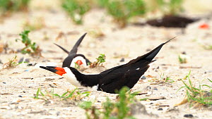 Black Skimmer (Rynchops niger) excavating nest scrape on beach by squatting and kicking backwards using its feet, Long Island, New York, USA, August.  -  Marie Read