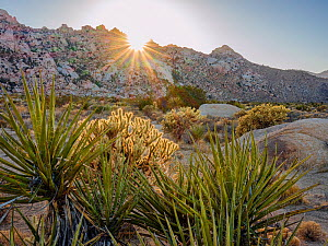 Silver cholla cacti (Cylindropuntia echinocarpa} and Mojave yuccas (Yucca Schidigera) against t granite boulders of the Granite Mountains. Mojave Natural Preserve, California, USA. March.  -  Jack Dykinga