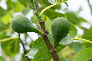 Immature but swelling fruit before ripening on a small fig tree variety 'Brown Turkey'with young fresh leaves, Berkshire, England, June  -  Nigel Cattlin