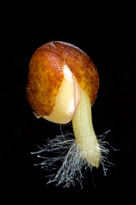 Cabbage (Brassica oleracea) seed germinating with radicle (embryo root) developing with root hairs and seed coat (testa) splitting  -  Nigel Cattlin