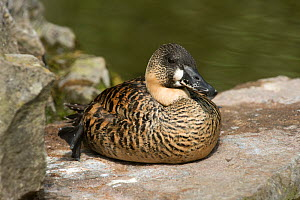 White-back duck (Thalassornis leuconotus) resting on a rock close to a lake at the Arundel Wetland Trust, Sussex, July  -  Nigel Cattlin