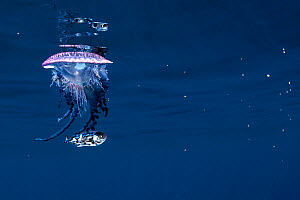 Portuguese man of war (Physalia physalis) accompanied by stromateoid fish - Butterfish- (Nomeus gronovii). The fish is associated with the hydrozoan during its juvenile state, as an adult it lives at...  -  Sergio Hanquet