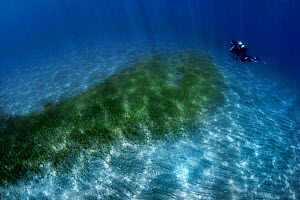 Diver looking over patch of Little Neptune seagrass (Cymodocea nodosa) Tenerife.  -  Sergio Hanquet