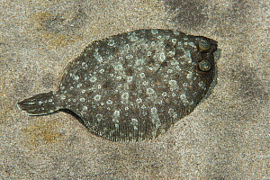 Wide eyed flounder (Bothus podas) female. Males have their eyes further apart. Tenerife, Canary Islands.  -  Sergio Hanquet