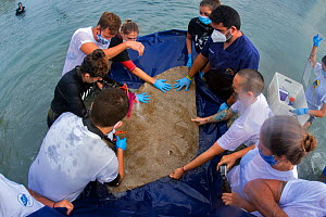 People fitting Spiny butterfly ray (Gymnura altavela) with an acoustic transmitter and visual recognition mark, CanBIO project, Tenerife Canary Islands.  -  Sergio Hanquet