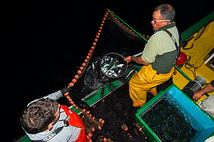 Fishermen catching mackerel (Scomber colias) at night for bait for Tuna fishing, Canary Islands, Atlantic Ocean.  -  Sergio Hanquet