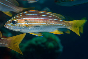African striped grunt (Parapristipoma octolineatum). Tenerife, Canary Islands.  -  Sergio Hanquet