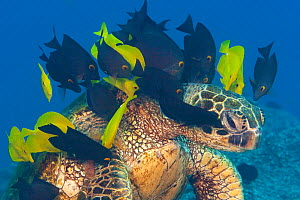 Endangered Green sea turtle (Chelonia mydas) stretches neck to be cleaned by Yellow tangs (Zebrasoma flavescens) and Goldring tangs (Ctenochaetus strigosus), North Pacific, Hawaii, USA.  -  David Fleetham