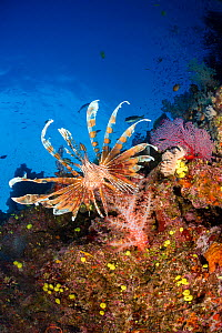 Lionfish (Pterois volitans) on coral reef wall, South Pacific, Fiji.  -  David Fleetham