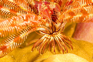 Bennett's feather star (Oxycomanthus bennetti), close up of feet / cirri, as it stands on a reef to catch passing food in the current, South Pacific, Fiji.  -  David Fleetham
