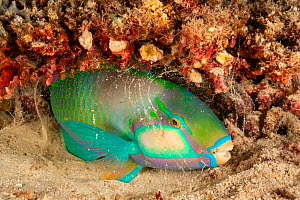 Bleeker's Parrotfish (Chlorurus bleekeri), surrounded by mucus bubble, on sea bed in reef at night, South Pacific, Fiji.  -  David Fleetham