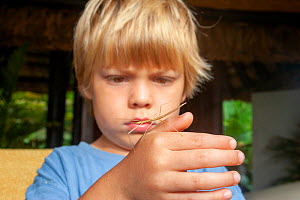 A young boy holding a coconut stick insect (Graeffea crouanii), Fiji. Model released  -  David Fleetham