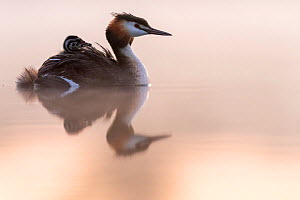 Great crested grebe (Podiceps cristatus) adult with young on the back in the first morning light Valkenhorst Nature Reserve, Valkenswaard, The Netherlands. May  -  David Pattyn