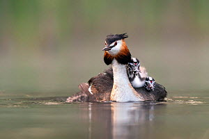 Great crested grebe (Podiceps cristatus) adult with young on nthe back busy with jockeiing for the best position on the back Valkenhorst Nature Reserve, Valkenswaard, The Netherlands. May  -  David Pattyn