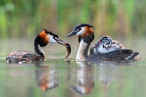 Great crested grebe (Podiceps cristatus) parent bird with chicks on the back while the other parent is feeding the chicks with a fish Valkenhorst Nature Reserve, Valkenswaard, The Netherlands. May  -  David Pattyn
