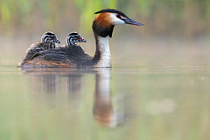 Great crested grebe (Podiceps cristatus) parent bird with chicks on its back, portrait in the first morning light Valkenhorst Nature Reserve, Valkenswaard, The Netherlands. May  -  David Pattyn