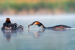 Great crested grebe (Podiceps cristatus) parent bird feeding fish to to its chicks with the other parent bird, Valkenhorst Nature Reserve, Valkenswaard, The Netherlands. May  -  David Pattyn