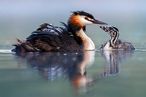 Great crested grebe (Podiceps cristatus) parent bird with young on its back and one chick on the water, portrait in the first morning light Valkenhorst Nature Reserve, Valkenswaard, The Netherlands. M...  -  David Pattyn